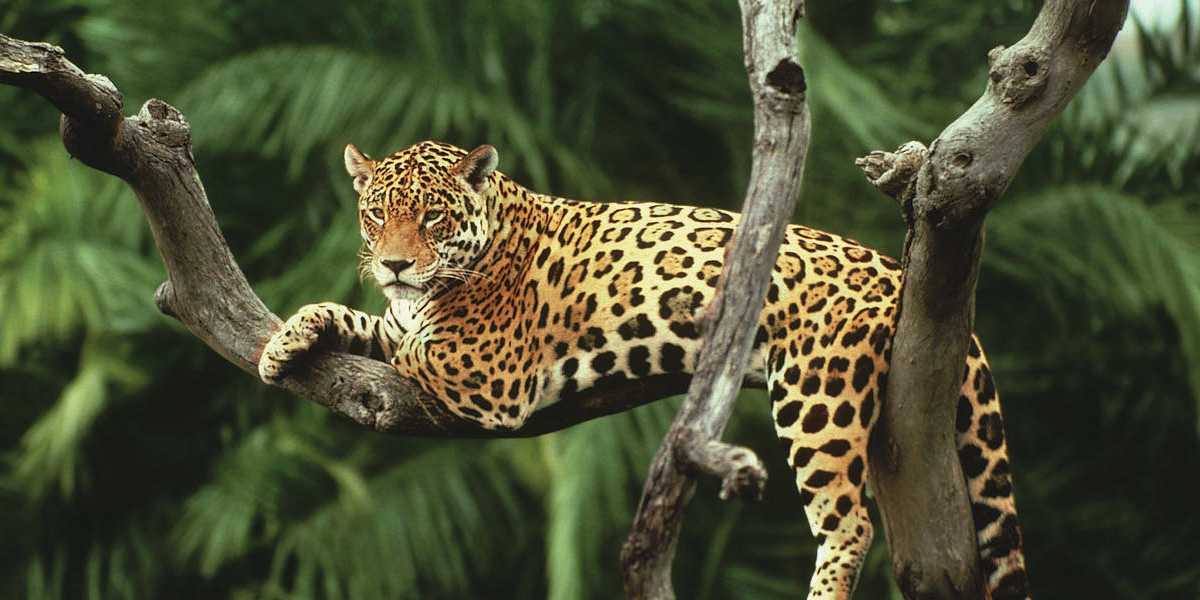 endangered jaguar