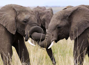 Endangered Elephants in Africa
